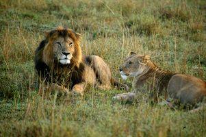 Lvi v trávě
